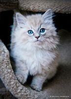 fluffy ragdoll kitten by venomxbaby