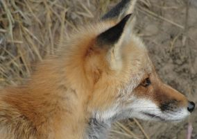 WSWS August 7: Fox 1 by FamilyCanidae