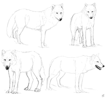 Wolf study sketches. by Alexandoria