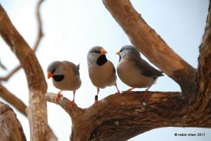 three little birds by meihua