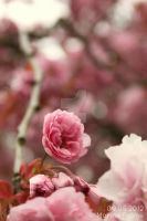 Cherry blossoms 3. by MarinaPalme