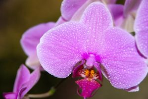 Pink Orchids by Slolv