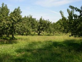 Peach  Orchard Stock 3 by FairieGoodMother