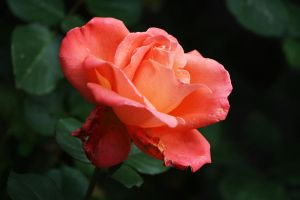last rose day 4 by organicvision