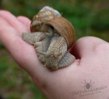 Helix pomatia on my hand by TheFunnySpider