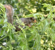 Lafreniere Park Squirrel by SalemCat