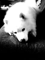 Samoyed Bek 6-Black and White by Nenad87