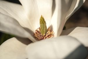 Magnolia #1 by Arloden