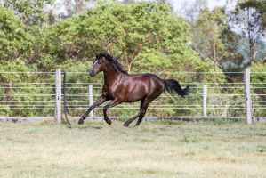 Dn black pony canter front 3/4 side view by Chunga-Stock