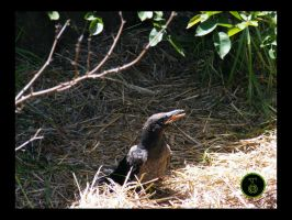 Currawong chick 2 by Ranger-Roger-Reserve