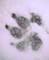 Paw Prints in the snow by AngelsSunset