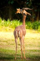 Gerenuk: My Leaf by Flame-of-the-Phoenix