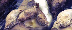 SealRock by DylanStricker
