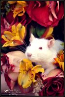 Rose Petal Whiskers by CatsEyePhotography