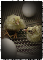 MOSI Chicks by Karl-B