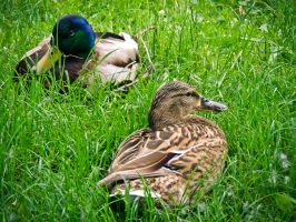 Love Ducks by Ajumska