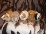 Group of some my guinea pigs by Falkenhund