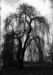 Weeping Willow by Luna-Caillean