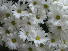 flowers_3365 by CKdailyplanet