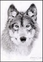 Canis Lupus.. by Venilia