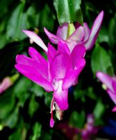 Christmas Cactus2 by pinestater234