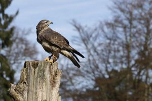 Hawk - Buzzard ( 2 ) by UdoChristmann