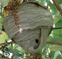 Nest of wasp by Scalenbee