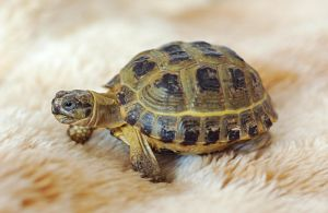 Russian tortoise by Lai-Wei