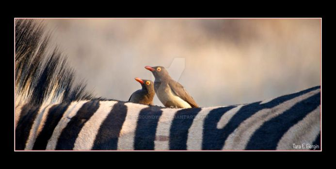 Oxpeckers by Bergundy07