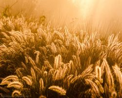 Glowing Foxtails 7 by isotophoto