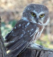 Saw-Whet Owl by faolruadh