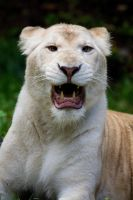 6015 - White Lion by Jay-Co