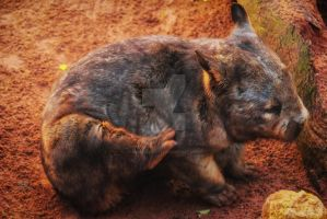 Hairy nose Wombat by Bluebuterfly72