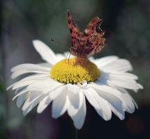 butterfly and daisywheel by Antrisolja