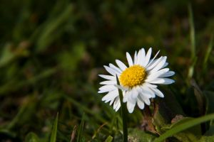 I pick you daisyflowers from the meadow by FrlMahlzeit