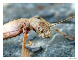 Stick Insect by FNQ