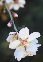 almond blossom 3 by Thephyrefly