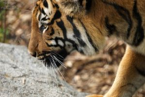 Malayan Tiger 44 by HarbingerPhotography