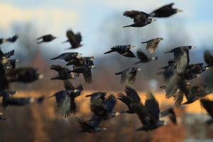 ...flock of crows... by Ulliart