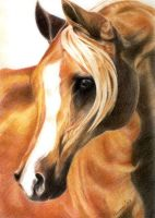 Drawing - Arabian Horse by gopidi