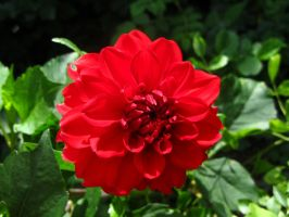 Red dahlia by Santian69