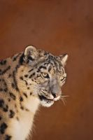 01077 Snow Leopard by Yellowstoned