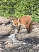 Fox on a Rock by Choedan-Kal