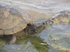 Turtle 3 by ChristineMarieArt