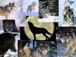 Wolf collage by hungrylikethwolf203