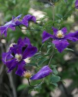 Not Desaturated Clematis by BlindedVisions