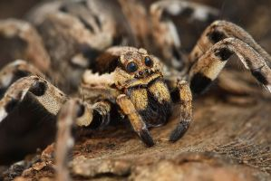 WOLF SPIDER by ELKAPL