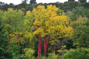 Yellow Tree Red Vines by Gr8-Gatensby
