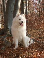 Samoyed in Autumn by Julii-chan