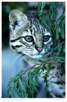 Geoffroys Cat in The Trees by In-the-picture